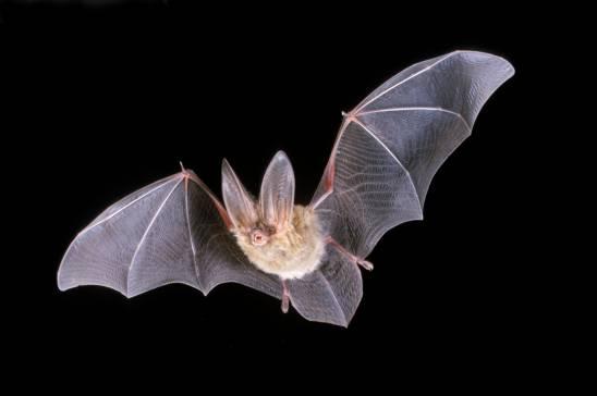 خفاش ها چگونه در شب پرواز می کنند؟